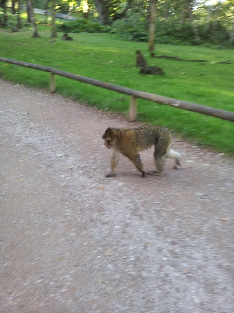 Monkey on path